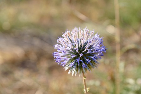 dagestan: Echinops ritro flower in nature