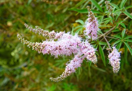 Vitex agnus-castus bloem op de tuin