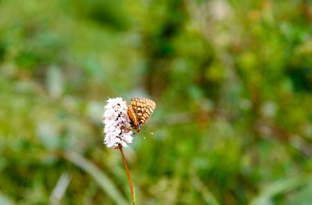 Bistorta elliptica flower with butterfly in Aktru valley. Altai Republic, Siberia. Russia Stock Photo