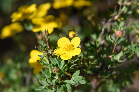 Dasiphora fruticosa fowers in Aktru valley. Altai Republic, Siberia. Russia