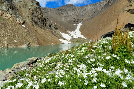 Cerastium lithospermifolium flowers on the mountain near Blue Lake in Aktru valley. North-Chuiskiy Range. Altai Republic, Siberia. Russia