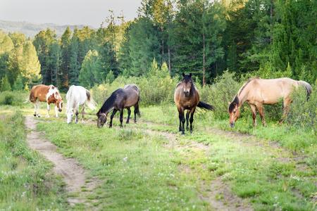Horses grazing on the green meadow on Ulagan plateau. Altai Republic, Siberia. Russia Stock Photo