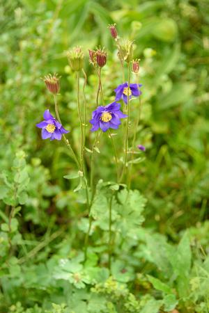 Aquilegia glandulosa flower. Karakol lakes in Iolgo Range. Altai Republic, Siberia. Russia