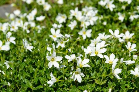 Cerastium lithospermifolium flowers on the mountain in Aktru valley. North-Chuiskiy Range. Altai Republic, Siberia. Russia