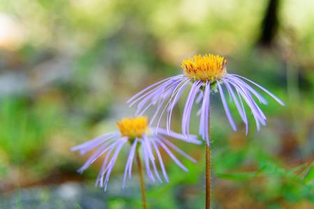Aster alpinus flower in Aktru valley. Altai Republic, Siberia. Russia