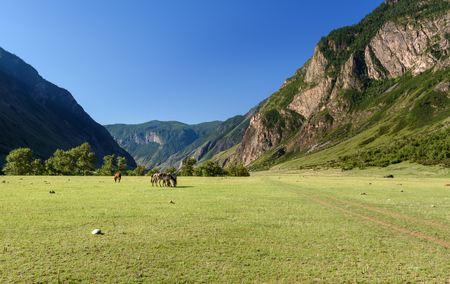Horses grazing on the green meadow in valley of Chulyshman river at the morning. Altai Republic, Siberia. Russia