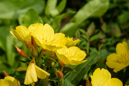 Beautiful Yellow Oenothera flowers. Evening Primrose