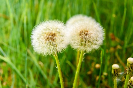 Dandelion flowers with seeds on green