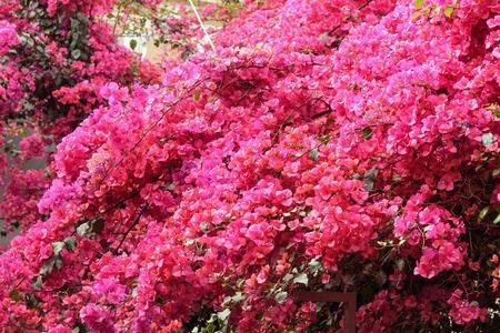 Garden with Bougainvilleain spring in the garden