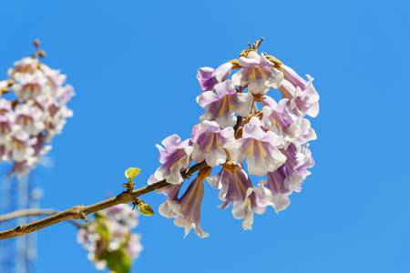 Flowers of Paulownia on blue sky background in spring Banque d'images