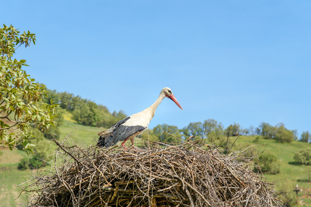 Nest of storks in Darreh Tafi village near Zarivar lake, Darreh Tafi village, 15kms west of Marivan, is home to large number of white storks in the spring. Kurdistan Province, Iran