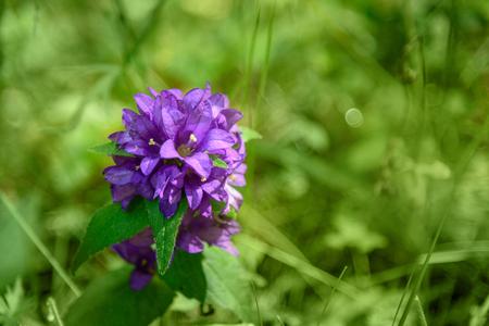Campanula glomerata, Wild flower on meadow. Selective focus