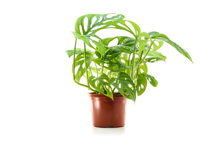 Monstera obliqua in flower pot isolated on white background