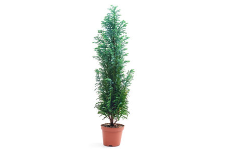 Chamaecyparis lawsoniana Ellwoodii plant in flower pot isolated on white background