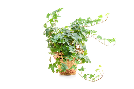 Hedera helix, ivy plant in flower pot isolated on white background