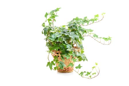 Hedera helix, plante de lierre en pot de fleur isolé sur fond blanc Banque d'images