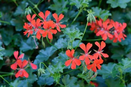 Red Geranium flower in the garden
