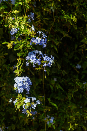 Blue flowers of Plumbago auriculata on the garden