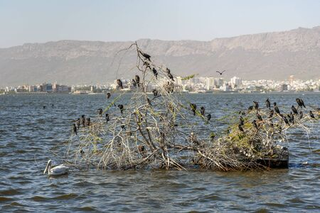 Migratory Cormorant Birds on Lake Anasagar in Ajmer. Rajasthan. India 免版税图像