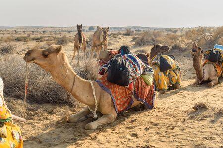 Camels for Safari in Thar desert. Jaisalmer. Rajasthan. India