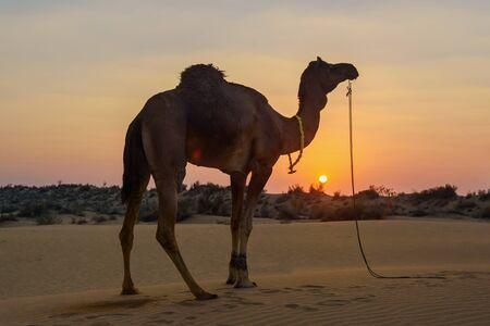 Chameau dans le désert du Thar au coucher du soleil. Jaisalmer. Rajasthan. Inde