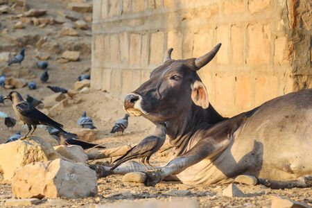 Crow and cow in Jaisalmer. Rajasthan. india