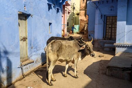 Bundi, India - February 19, 2019: Cows on the street in old town of Bundi. Rajasthan