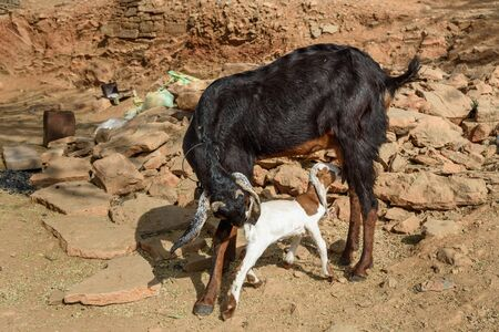 Baby goat sucks milk from her mother in Bundi. Rajasthan. India