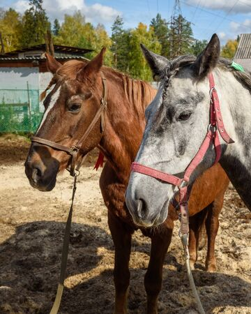 Dappled gray and Chestnut horses with pigtails in farm