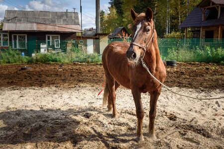 Chestnut horse with pigtails in farm