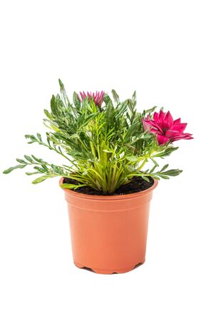 Pink Gazania plant in flowerpot isolated on white