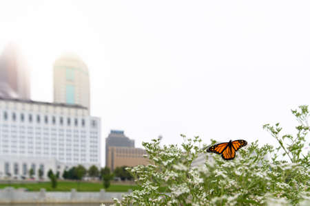Danaus plexippus monarch butterfly on a plant in the foreground on a foggy morning with the Columbus Ohio skyline in the background and the Scioto River between