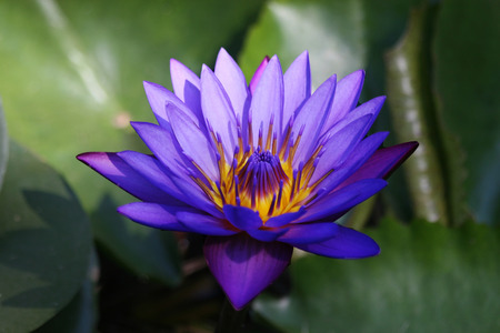 nenuphar: Blue Nymphaea on a green background