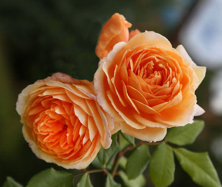 rosas naranjas: English Two orange roses on a background of green leaves