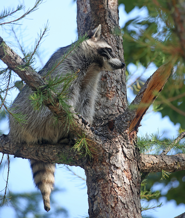 Raccoon climbed onto the pine tree and sits on a branch