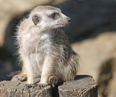 Meerkat sits on a stump