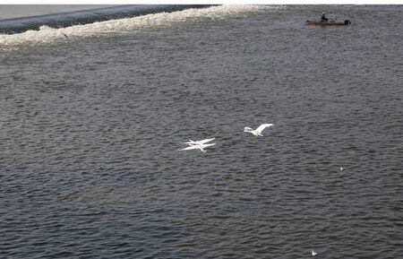 Three white swans in flight over the river. In the background a fisherman in a boat. View from above. 版權商用圖片