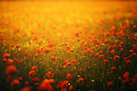 Beautiful field of red poppies in the sunset orange light. Russia, Crimea.