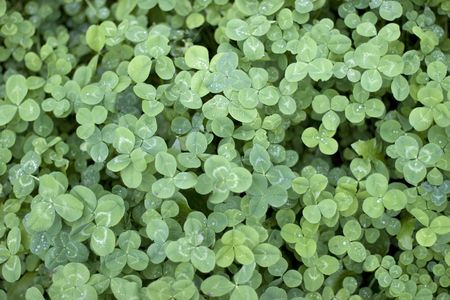 green background of clover Stock Photo - 3622137