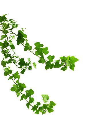 bordure vigne: Image de la branche de lierre sur un fond blanc