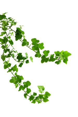 creepers: Image of the branch is ivy on a white background