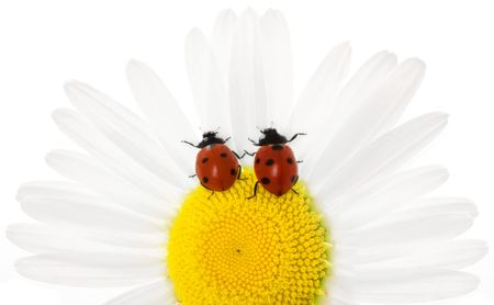 The image of the two ladybirds, sitting in daisies. Stock Photo - 5151372