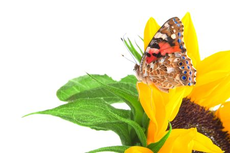 Image of a butterfly on a sunflower photo