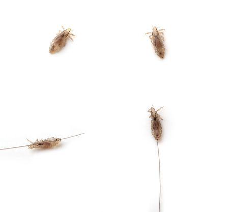 Images of different lice on a white background photo