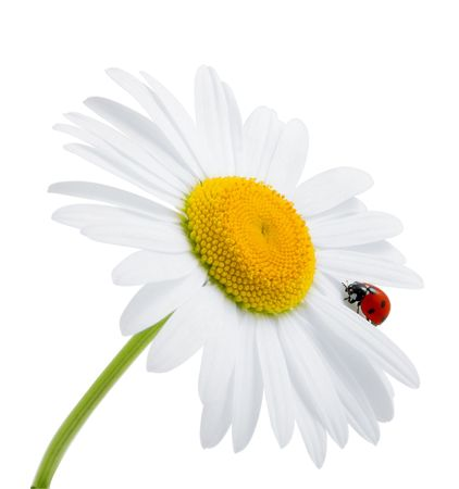 Images of the ladybug is sitting on camomile against the blue sky photo