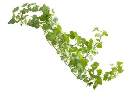 ivies: Immagine di edera ramo su sfondo bianco
