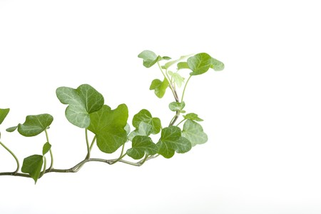 Image of the branch ivy on a white background Stock Photo - 7623392