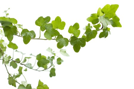 climbing frames: Image of the branch ivy on a white background