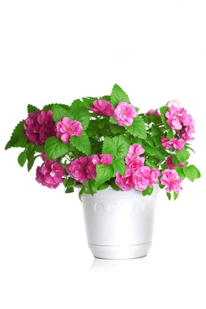 flowering  plant: Image of colorful flowers growing in a pot