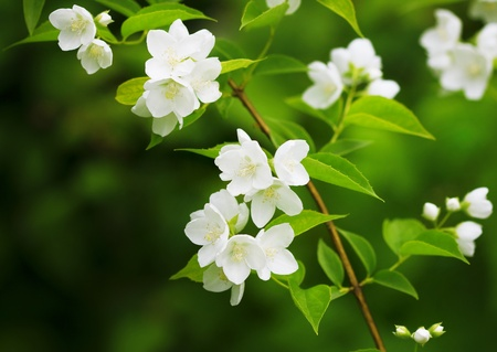 The image of a beautiful blossoming branch of jasmine photo